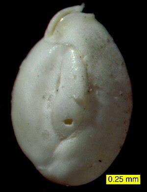 Miliolida - Quinqueloculina sp. from Donegal Bay, Ireland.