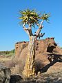 Quiver Tree (Aloe dichotoma) (7042270965).jpg