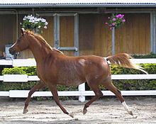 Arabian horse - Wikipedia