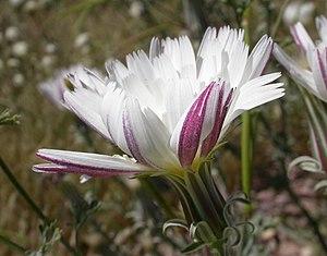 Constantine Samuel Rafinesque - The genus Rafinesquia was named in Rafinesque's honor.