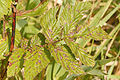 Ramularia.ulmariae.-.lindsey.jpg