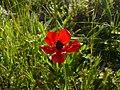 Ranunculus asiaticus003.jpg