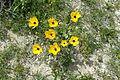 Ranunculus asiaticus kz18.jpg