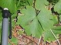 Ranunculus lapponicus 1-eheep (5097966098).jpg