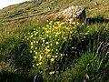 Ranunculus sp. Streymoy Faroe Islands2.jpg
