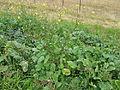 Rapistrum rugosum plant5 (14922367966).jpg