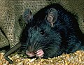 Rat noir.jpg