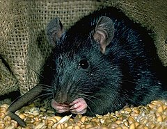 Black Rat - Photo Rathater, no known copyright restrictions (public domain)
