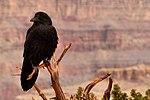 Raven - Grand Canyon (14419877373).jpg