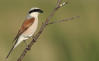 Red-backed shrike - Adult male