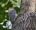 Red-bellied Woodpecker (36831953424).jpg