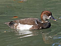 Red-crested Pochard hybrid RWD2c.jpg