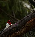 Red-headed woodpecker (a lifer for me, species -160) (34333889051).jpg