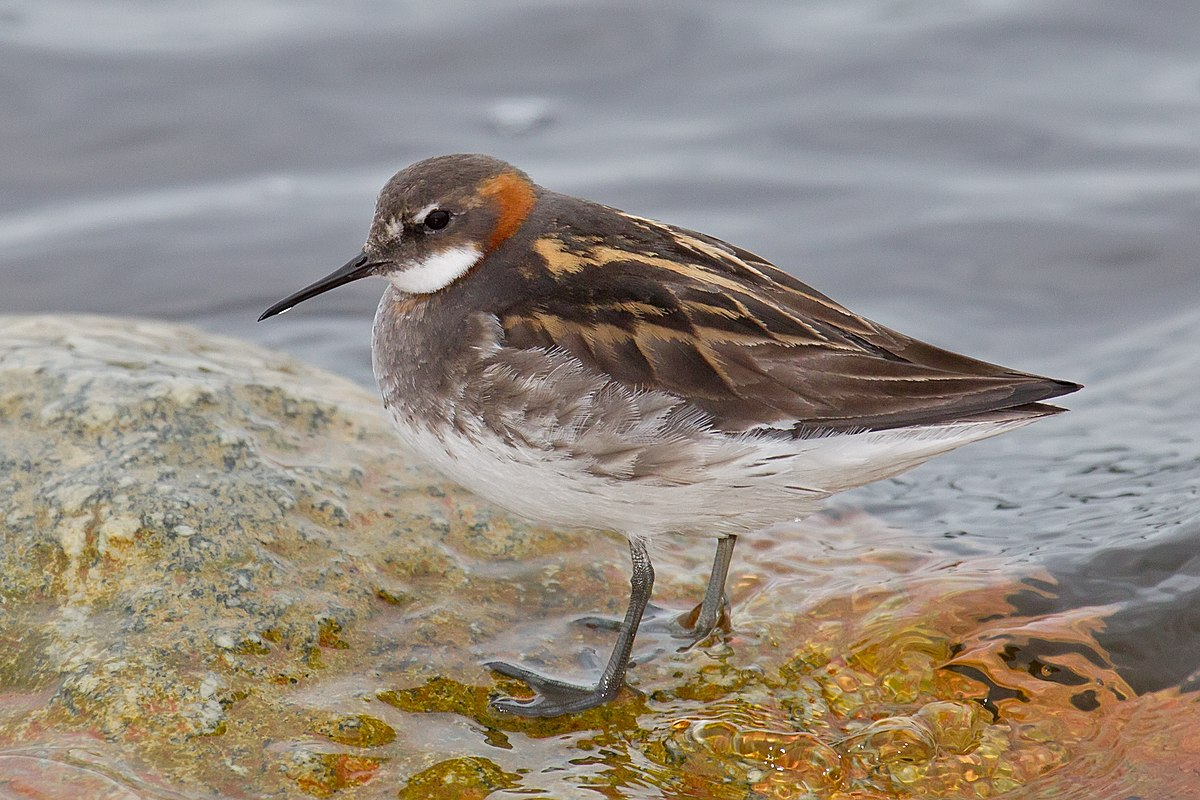 Red-necked phalarope - Wikipedia
