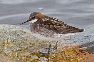 Red-necked phalarope Species of bird