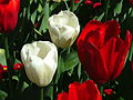 Red and white tulips at Floriade 2004.JPG