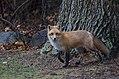 Red fox at christmas (15431551529).jpg