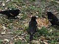 Red winged blackbirds eating seed 2.jpg