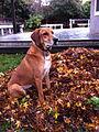 Redbone Coonhound2.jpg