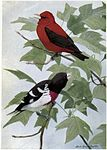 Redcoat the Scarlet Tanager, Rosebreast the Grosbeak.jpg