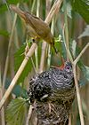 This Reed Warbler is raising the young of a Common Cuckoo, a brood parasite.