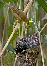 Reed warbler feeding a cuckoo chick (Cuculus canorus) .
