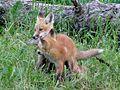 Renardeaux (Vulpes vulpes juvenile) (2).jpg