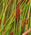 Restios (Restionaceae) close-up (32731755221).jpg