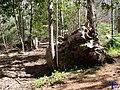Restos de un árbol - panoramio.jpg