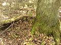 Rezerwat przyrody Dęby w Meszczach 201012 12.35.jpg