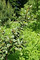 Rhamnus alaternus kz03.jpg