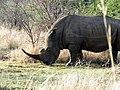 Rhino (high contrast).jpg