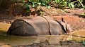 Rhino cooling off in Trivandrum Zoo.jpg