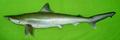 Rhizoprionodon oligolinx01.png