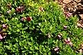 Rhododendron-campylogynum-habitus.jpg