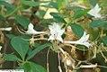 Rhododendron atlanticum 1zz.jpg