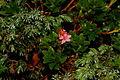 Rhododendron hirsutum sp1.JPG