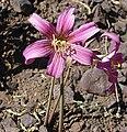 Rhodophiala rhodolirion - Flickr - Dick Culbert.jpg
