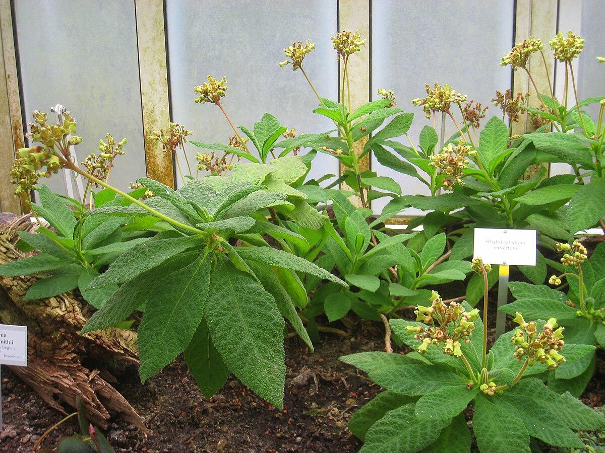 Rhytidophyllum Wikipedia