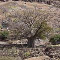 Ribeira Grande de Santiago-Baobab (2).jpg