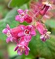 Ribes malvaceum var veridifolium 2.jpg