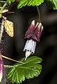 Ribes menziesii.jpg