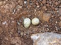 River tern-Nest 16 - Koyna 042011.JPG