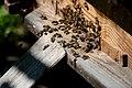 Romania bees (5895213053).jpg