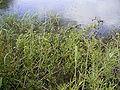 Rorippa amphibia overzicht.jpg