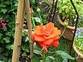 Rosa Ave Maria 2.JPG