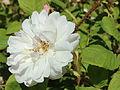 Rosa Quatre Saisons Blanc Mousseux.jpg