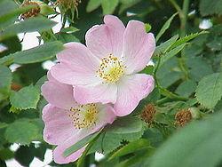 Clasificación de los rosales 250px-Rosa_canina2