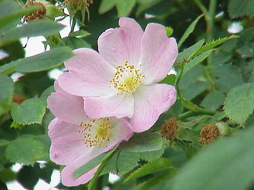 Rosa canina2.jpg
