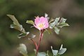 Rosa glauca inflorescence (09).jpg